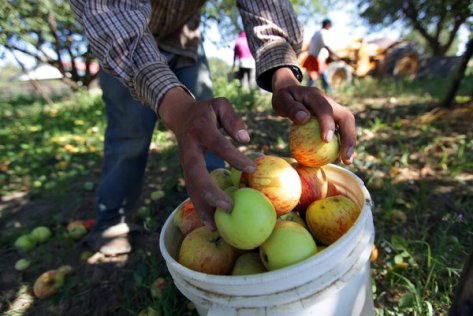 Gravenstein apples being harvested in Sebastopol, Calif. The new farm bill gives fruit and vegetable farmers greater access to crop insurance, protecting them from the vagaries of weather. Credit Jim Wilson/The New York Times