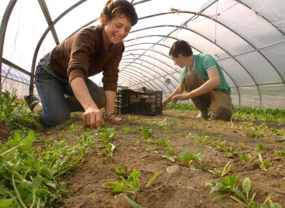 JERREY ROBERTS Amanda Barnett and David DiLorenzo pull out spinach plants in a greenhouse at Stone Soup Farm Co-op in Hadley